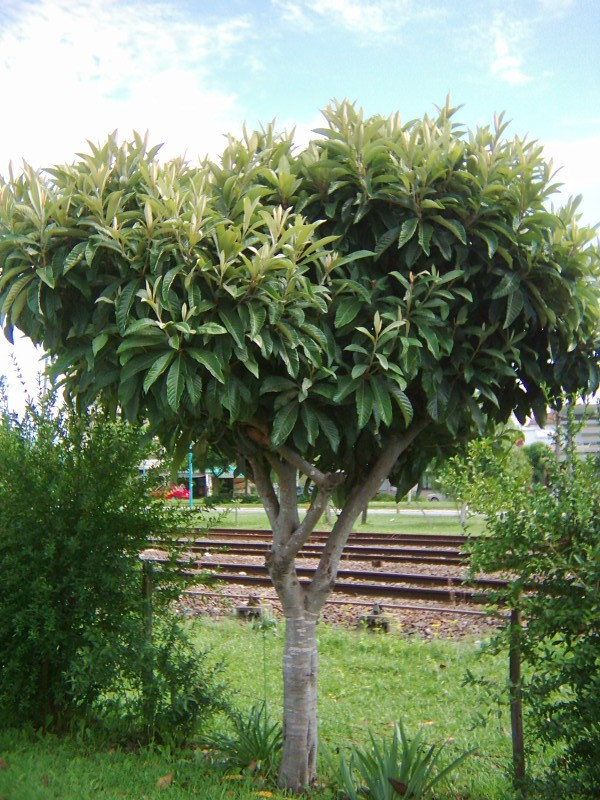 Longevidad del rbol estilo verde for Arboles para cierre de jardin