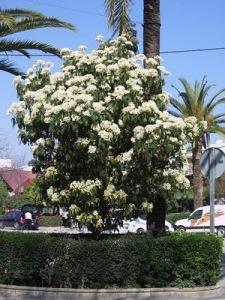 PHOTINIA SERRULATA fotinia alameda flor